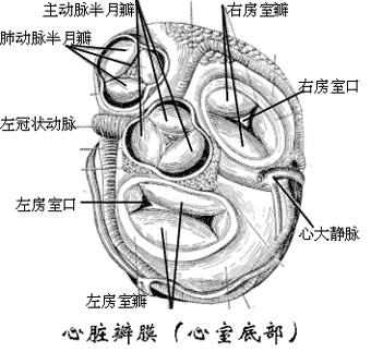牛结构解剖图 全身