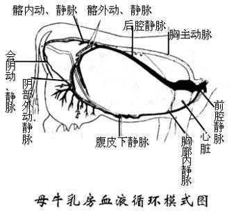 牛的胸腔解剖(展开图片)