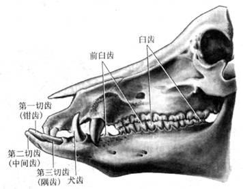 图5-11 猪的牙齿