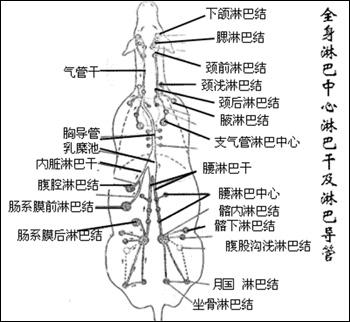 猪淋巴结解剖图_课程讲解-动物解剖与组织胚胎学